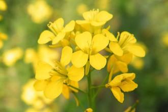 800px-Mustard_Flower