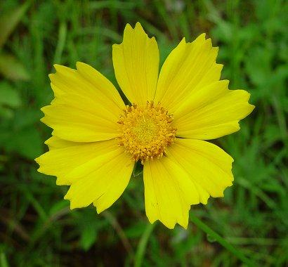 Coreopsis_lanceolata_flowers2